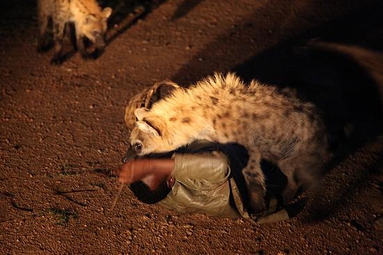 Krmení hyen se snadno zvrátí v jejich prospěch.