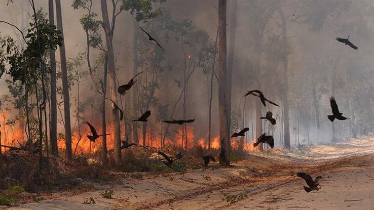 Létající dravci úmyslně zapalují australské lesy